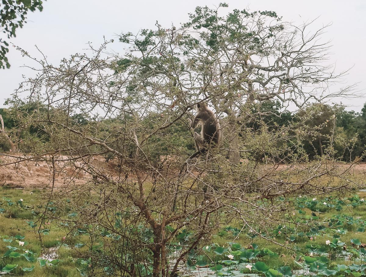 monkeys at wilpatuu
