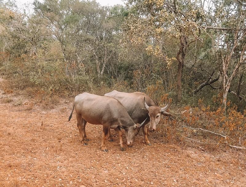 Animals at Wilpattu National Park safari