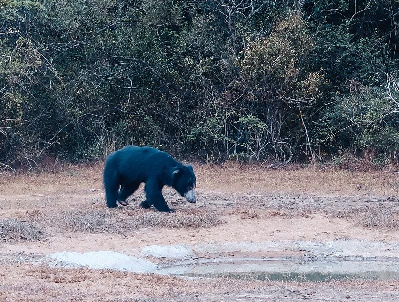 Sloth bear in Wilpattu park