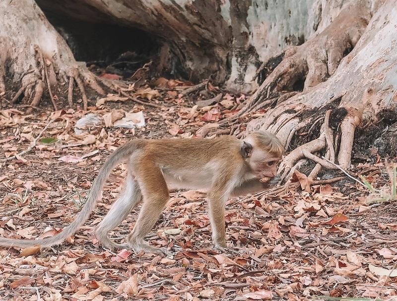 Monkeys at Wilpattu