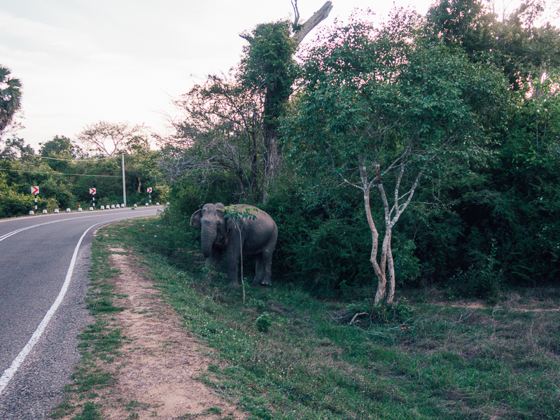 elephant spotting in arugam bay