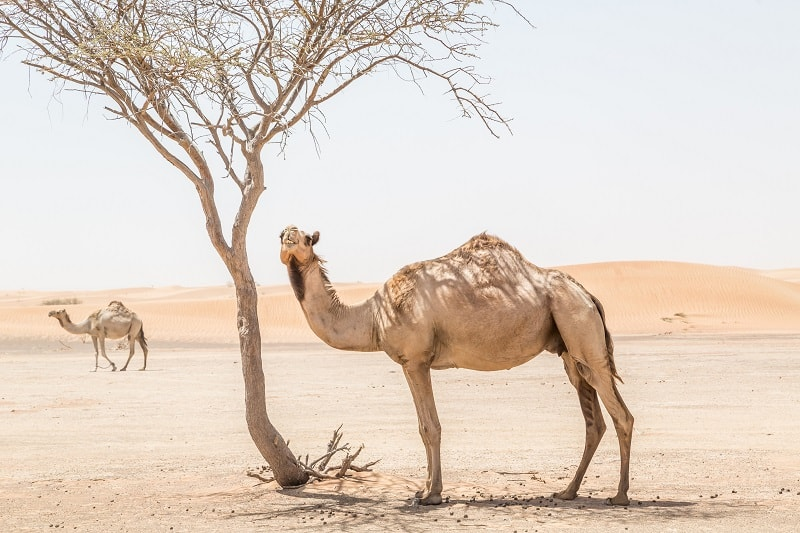 camel in pushkar