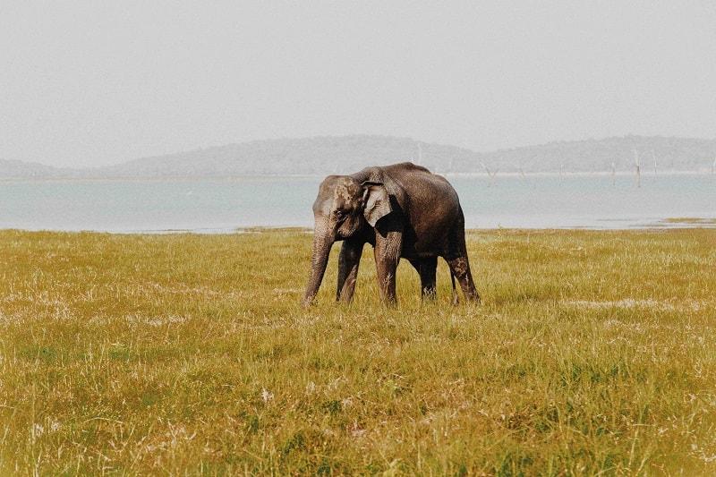 elephants in sri lanka safari
