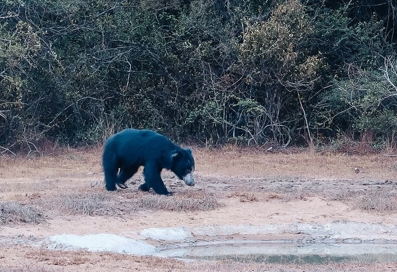 sloth bear in sri lanka