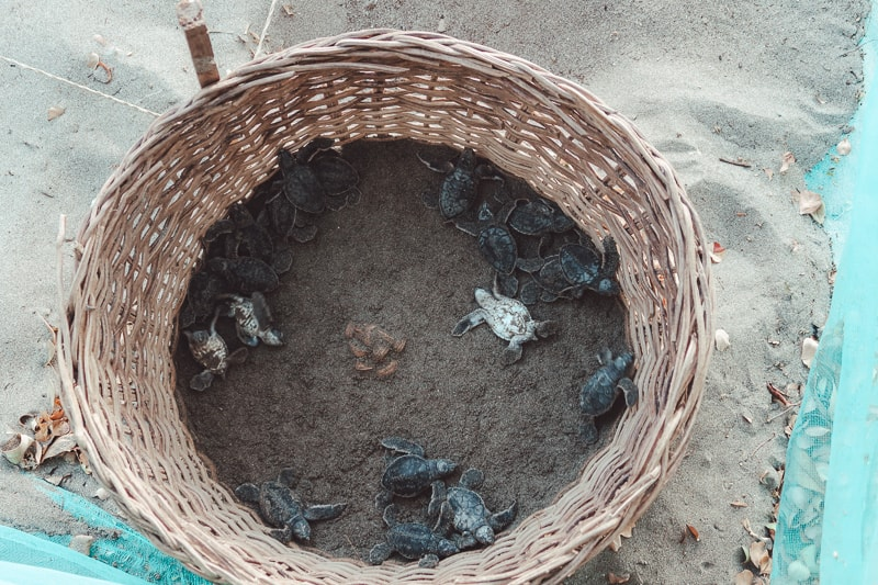 turtle hatchery at costa ducle