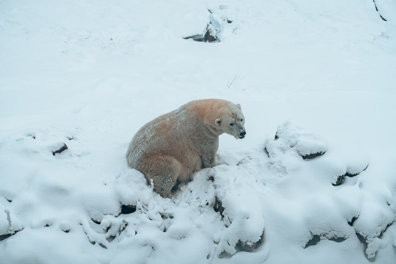 polar bear at ruana wildlife park in finland