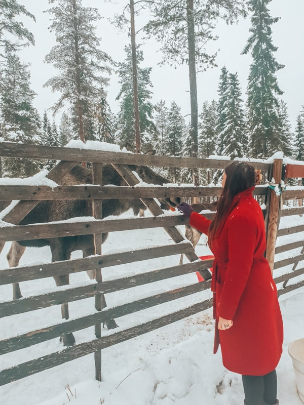 visit a moose farm in sweden
