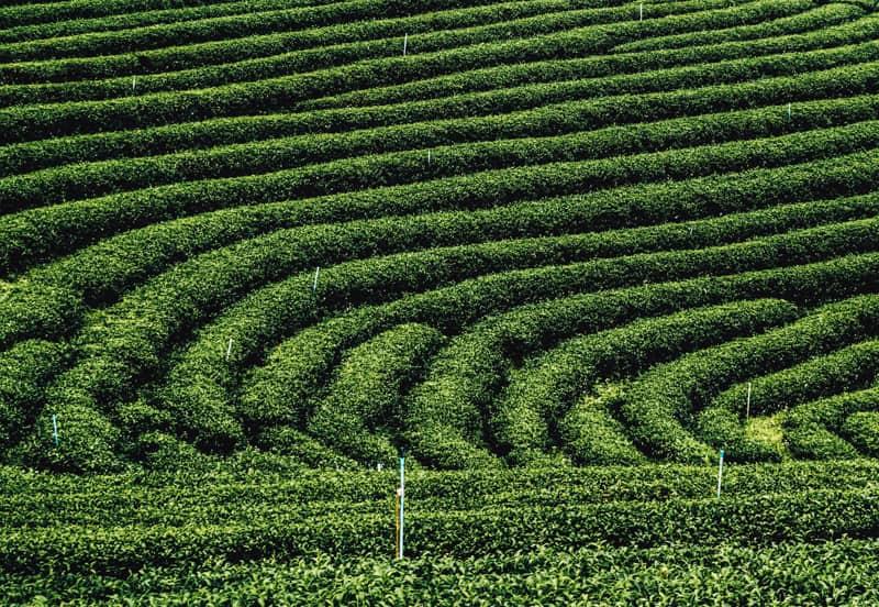 tea fields in chiang rai