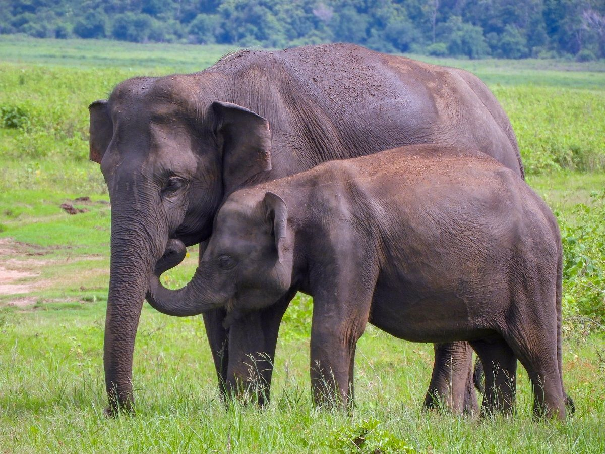 Kaudulla National Park elephants