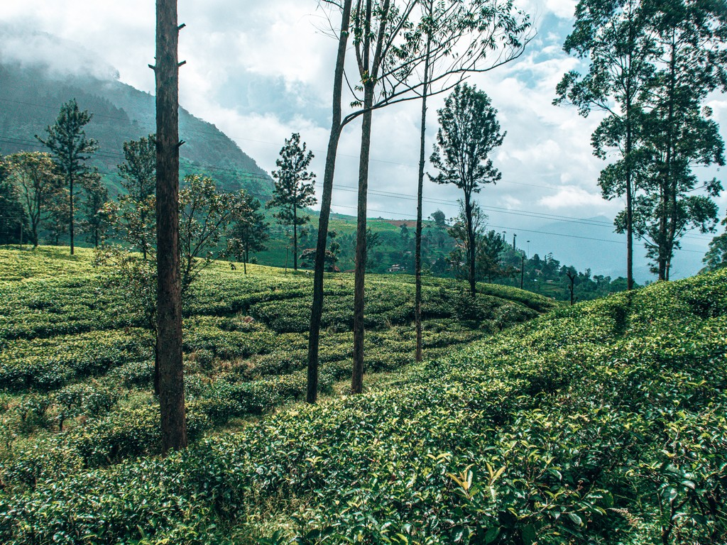 tea fields in ella