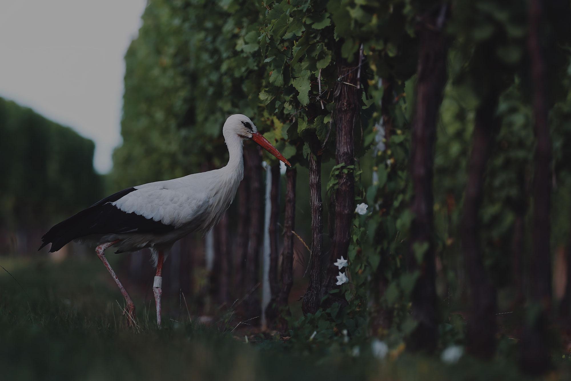 Ein Storch im Weinberg