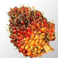 Photo of palm fruit cluster (Elaeis Guineensis) as the richest source of carotenoids and tocotrienols in the world.