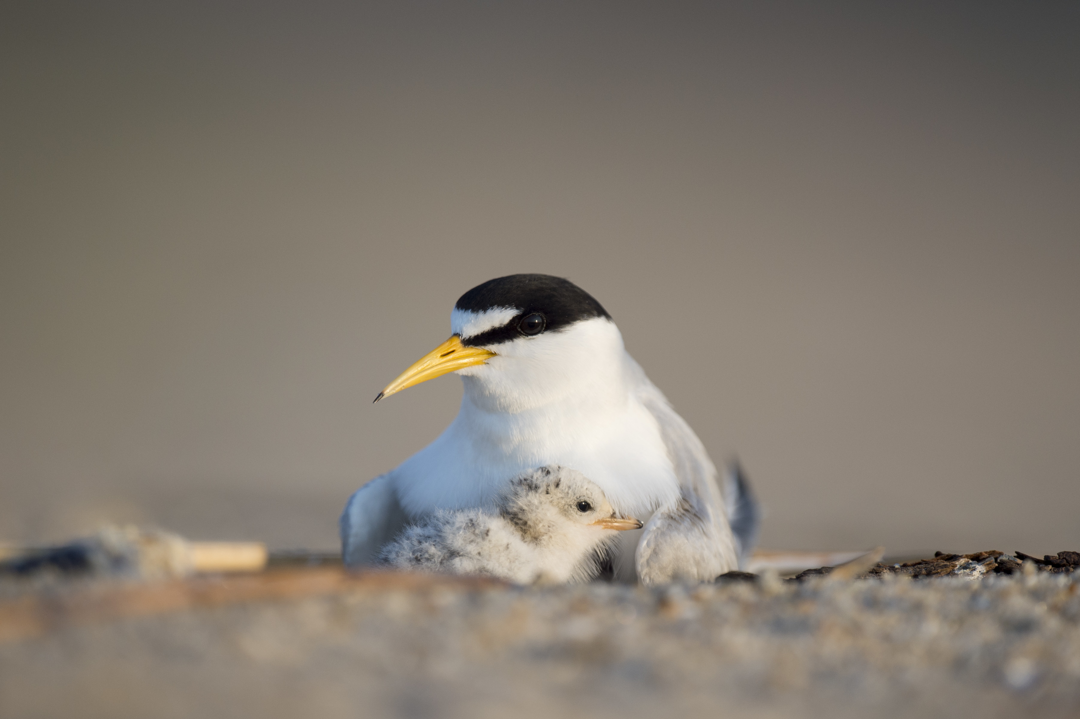 Least terns nesting on a beach