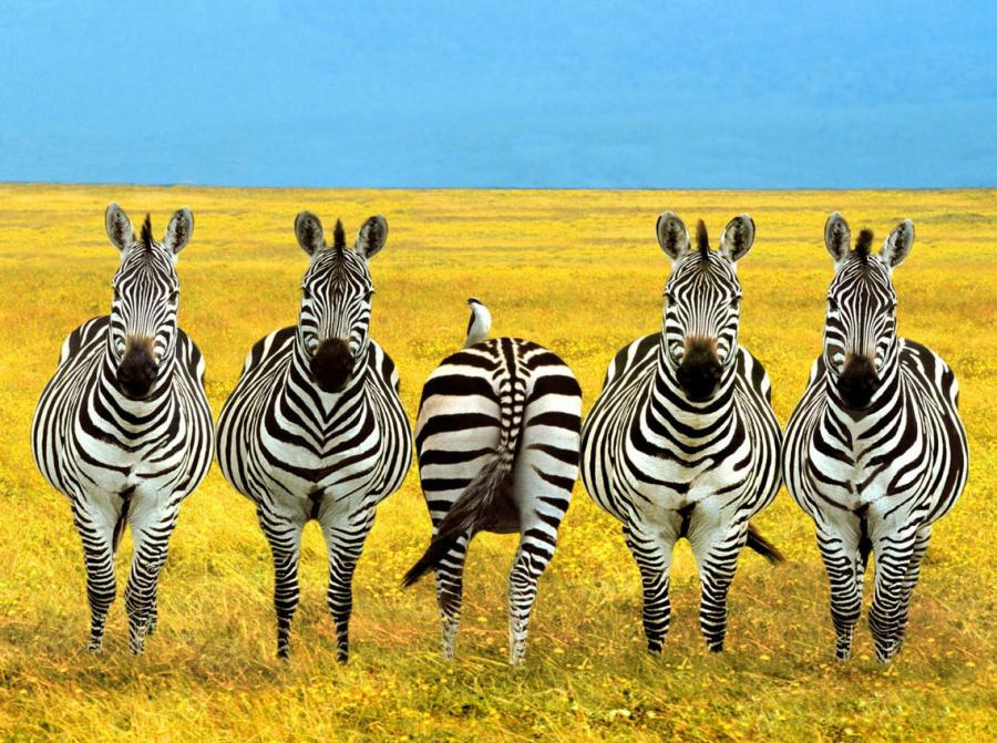 5 zebra's with the middle one facing opposite way