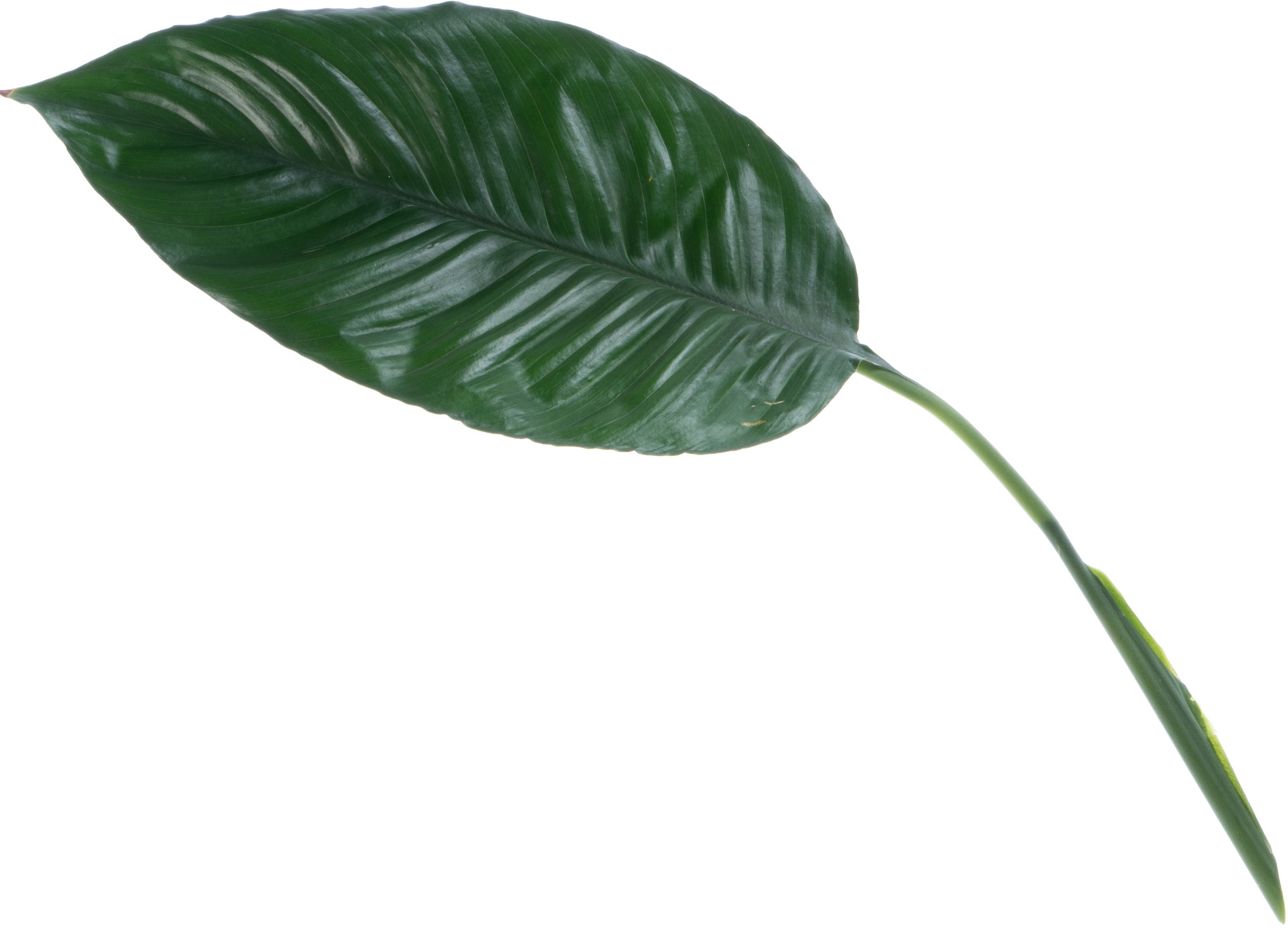 Big tropical leaf