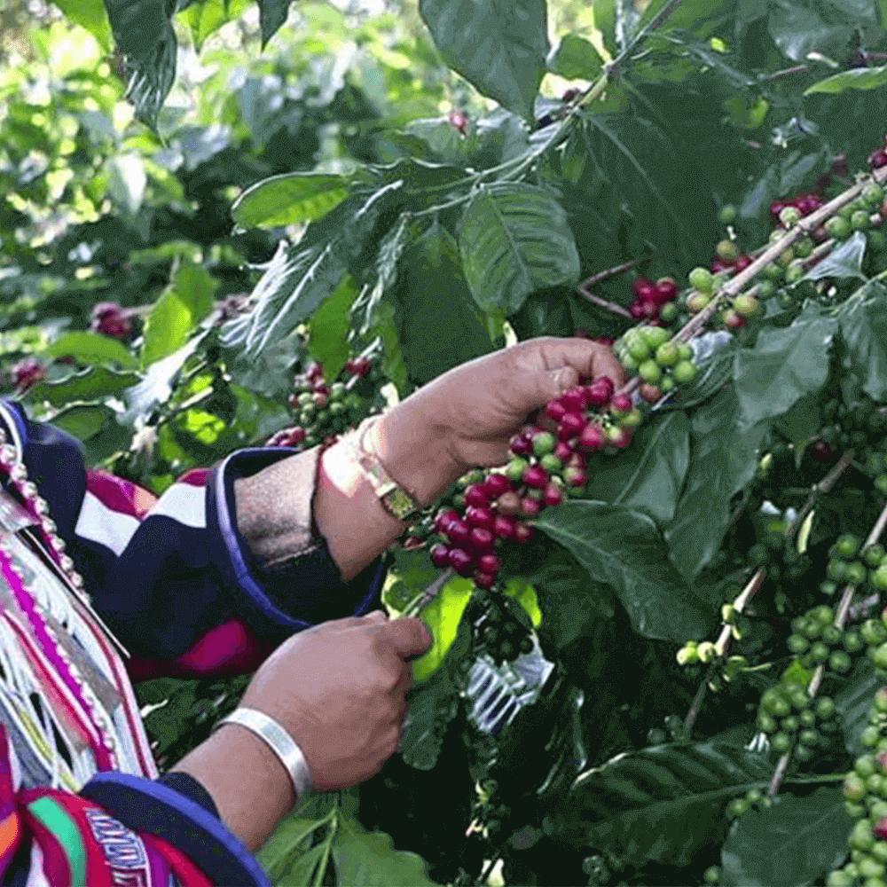 Mexico Chiapas, кофе зерновой арабика