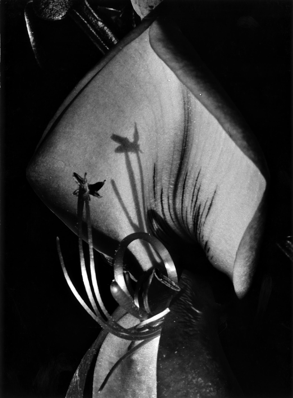 Fred Koch (1904-1947) Sarothamnus scoparius. Leguminosae/Besenginster, Blütenausschnitt, um 1929/30 Silbergelatineabzug auf Barytpapier, 23,0 x 16,8 cm Courtesy Sammlung Rainer Stamm