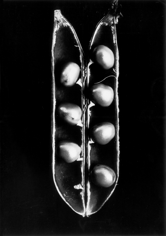 Fred Koch (1904-1947) Pisum sativum, Erbse, undatiert, Abzug Freundeskreis Ernst Fuhrmann Silbergelatineabzug, 18,5 x 13,0 cm Courtesy Sammlung Dr. Hans Schön