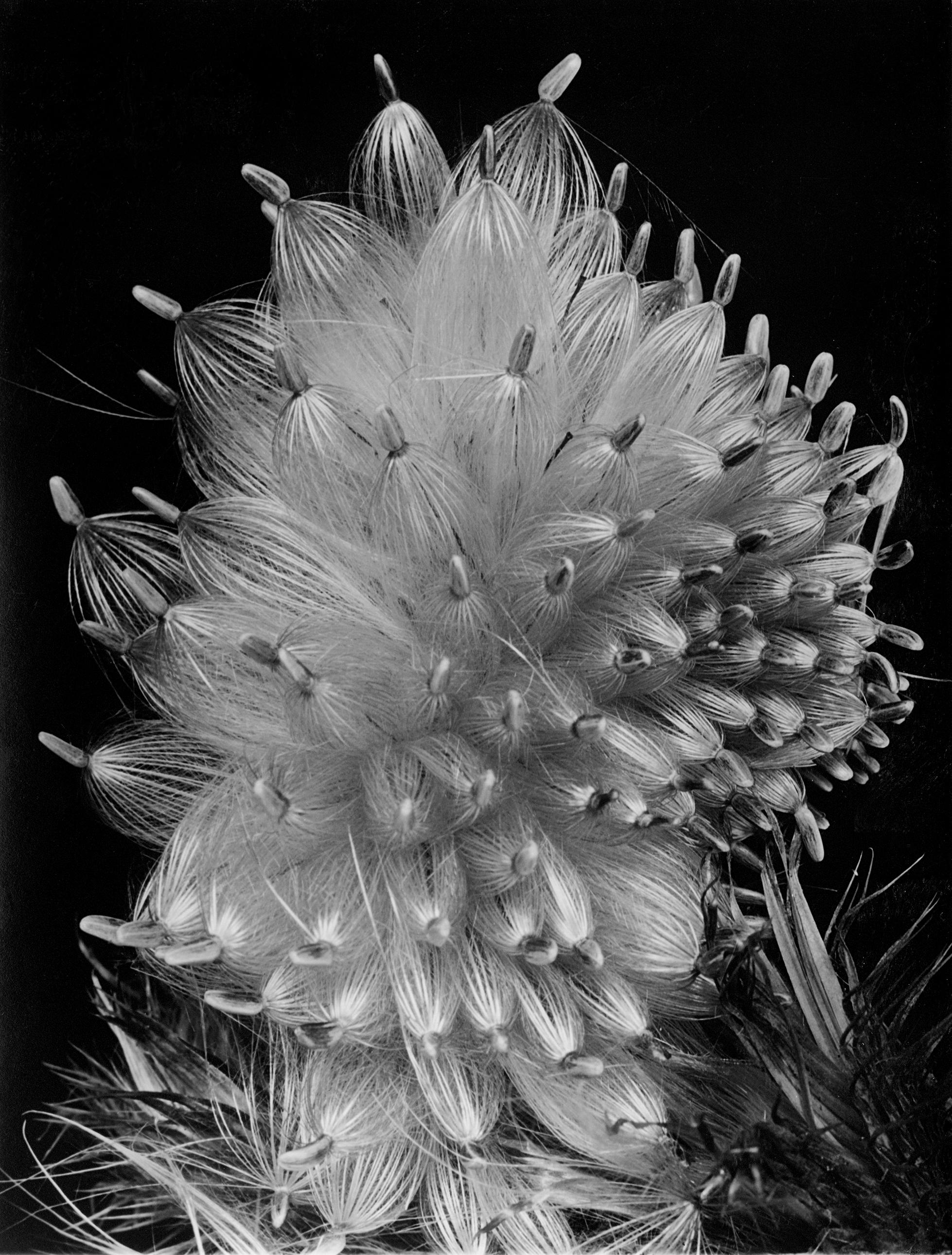 Fred Koch (1904-1947) Distel-Samen. Compositae - Cirsium lanceolatum, undatiert Silbergelatineabzug auf Barytpapier, 22,1 x 16,8 cm Courtesy Stiftung F.C. Gundlach, Hamburg