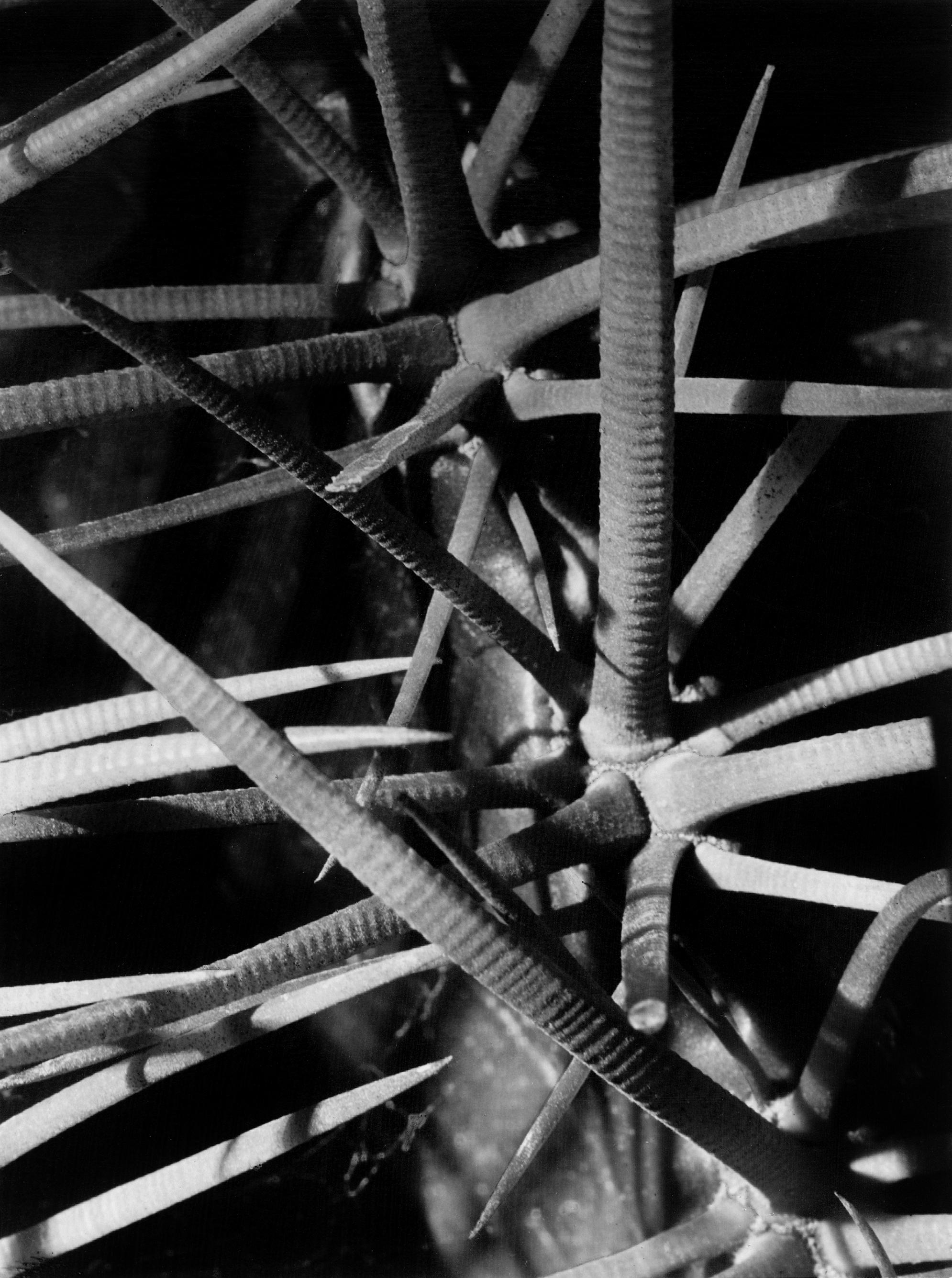 Fred Koch (1904-1947) Echinocactus grusonii/Schwiegermutterstuhl, Cactaceae/Kakteen, um 1930 Silbergelatineabzug auf Barytpapier, 22,7 x 16,7 cm Fred Koch - Courtesy Sammlung Ann und Jürgen Wilde, Zülpich