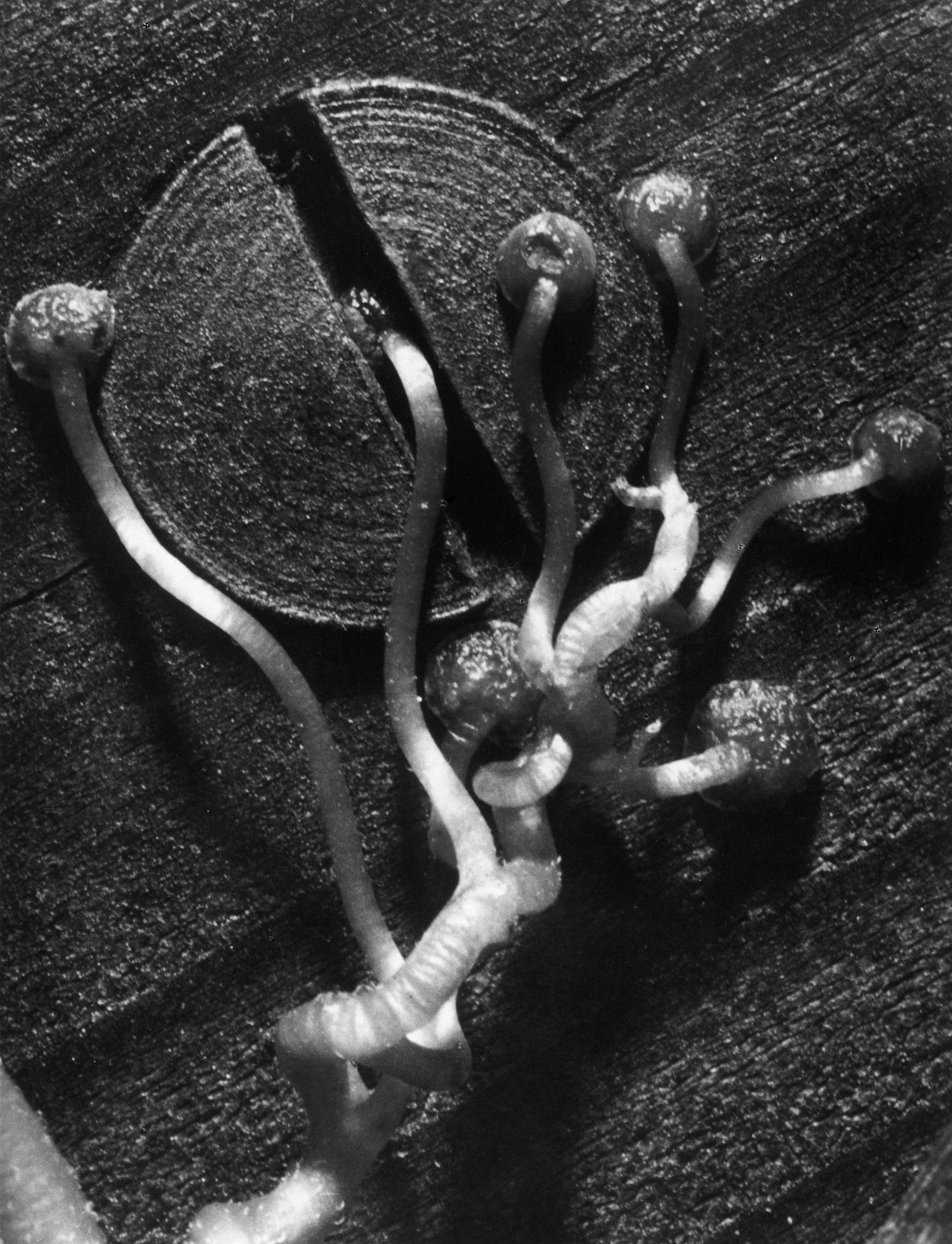 Fred Koch (1904-1947) Ampelopsis tricuspidata. Zaunrebe, bis 1930 Silbergelatineabzug auf Barytpapier, 9,8 x 7,4 cm bpk-Bildagentur / Fred Koch