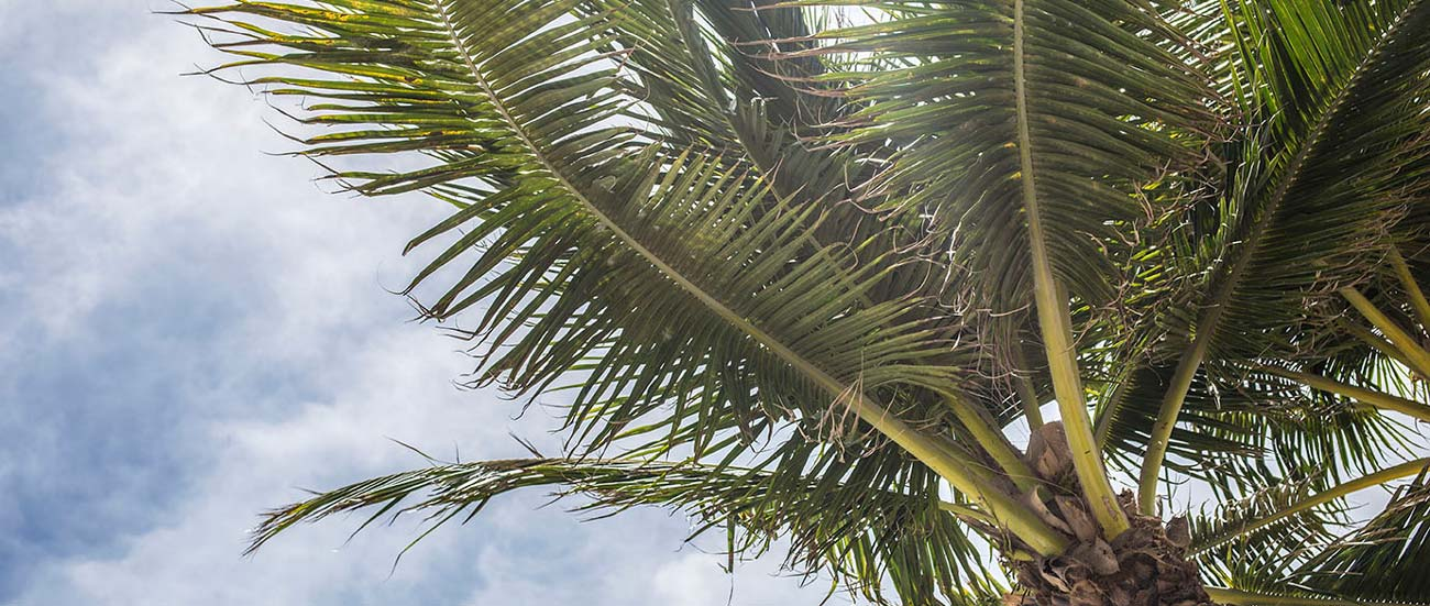 Photo of a palm tree.