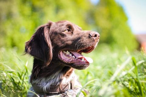 Fecal Transplants for Dogs with Chronic Digestive Issues
