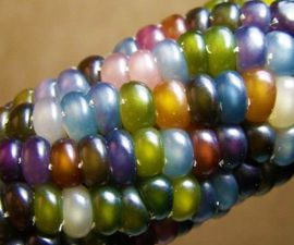 Glass Gem Heirloom Corn Seeds