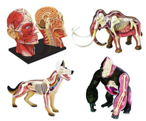Science anatomy Models