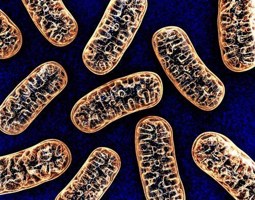 Quel lien unit l'ADN mitochondrial et l'obésité de la femme ?