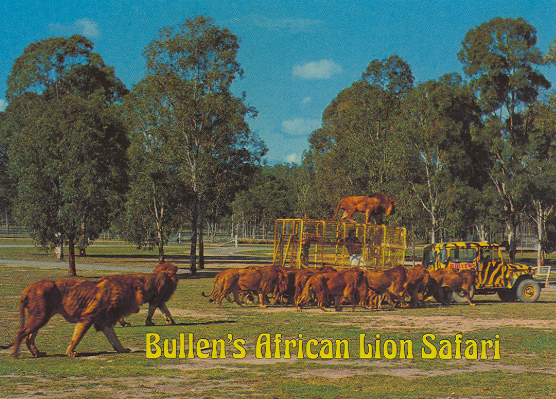 Lions roaming at Bullen's safari park near Yatala, Queensland