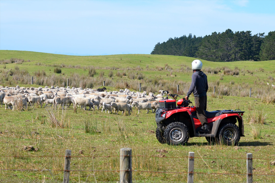 Farmer on ATV quad bike looking over his herd of sheep