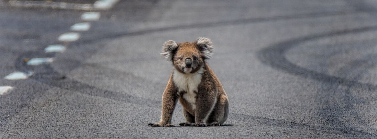 Koala in the middle of the road