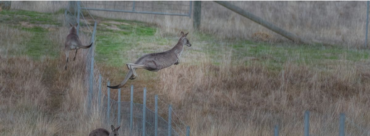 Kangaroo jumping over a fence