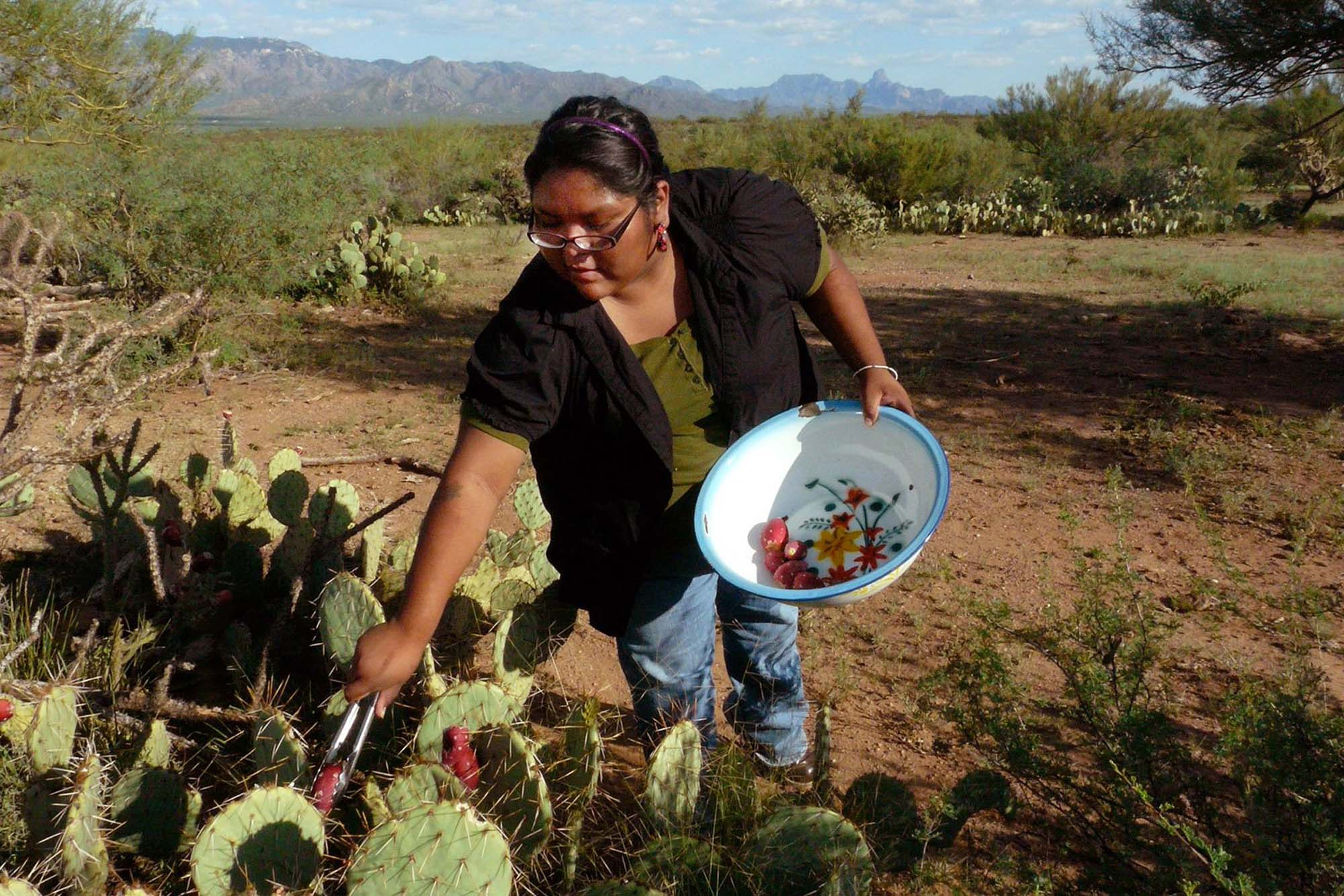 person harvesting prickly pears