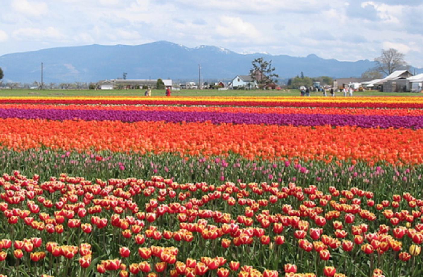 Field of tulip flowers.