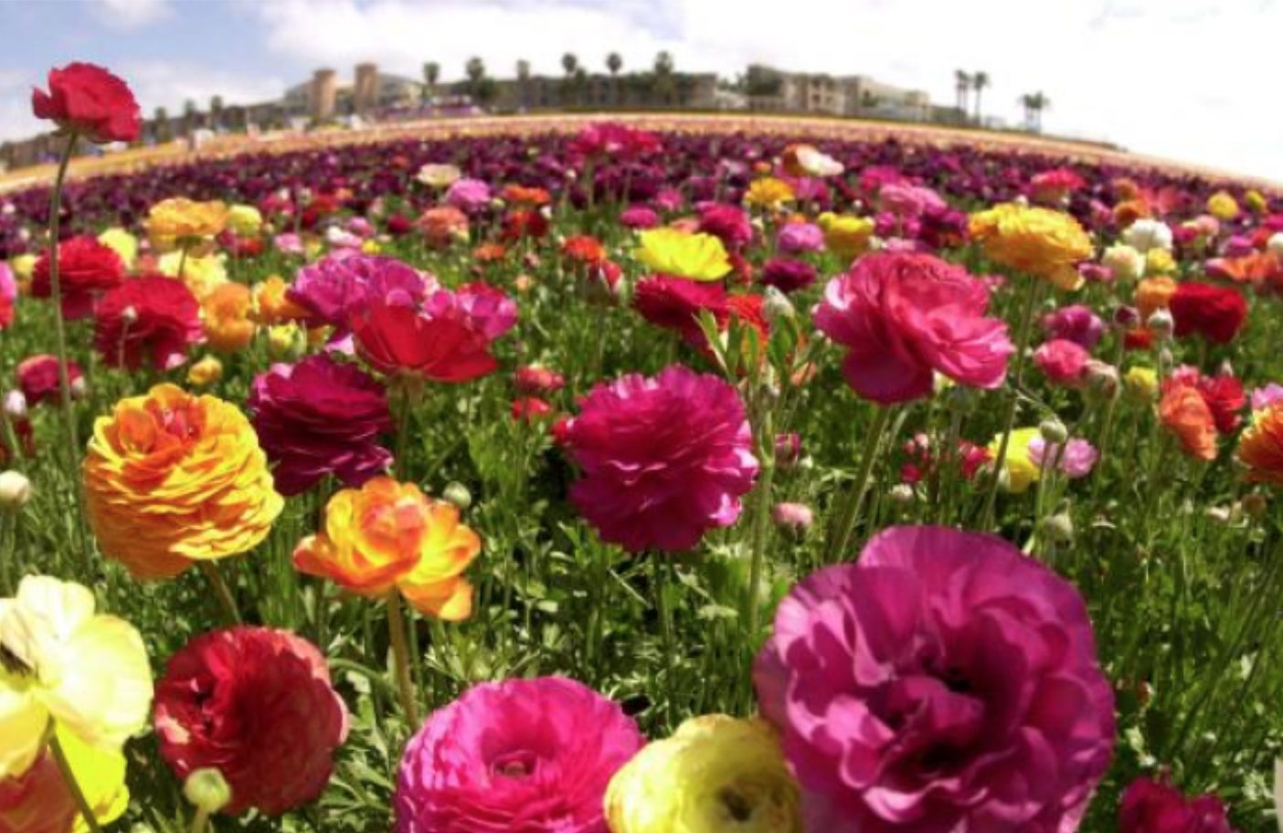 close up of a field of flowers