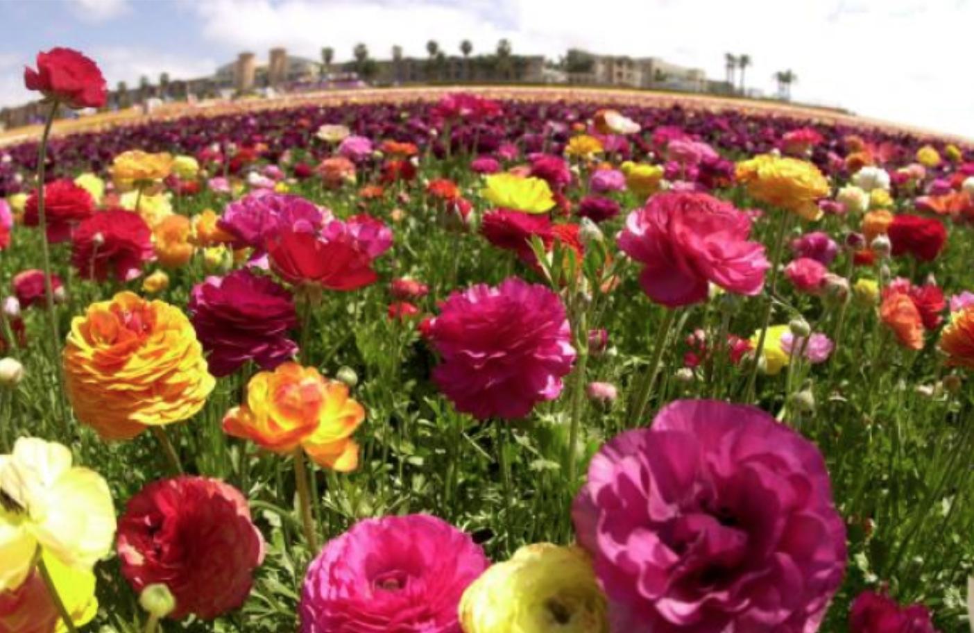 close up a flower field