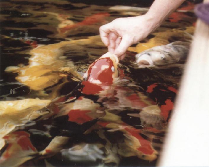 some one feeding their KOI fish.