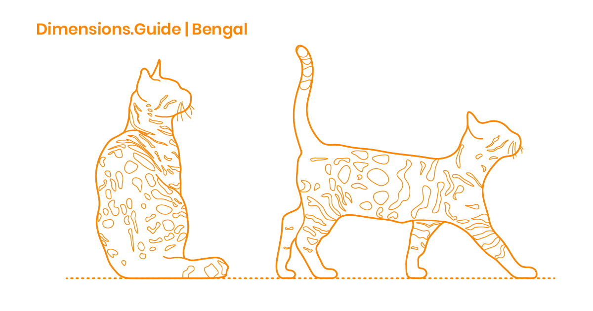 Bengal Cat Dimensions Drawings Dimensions Com