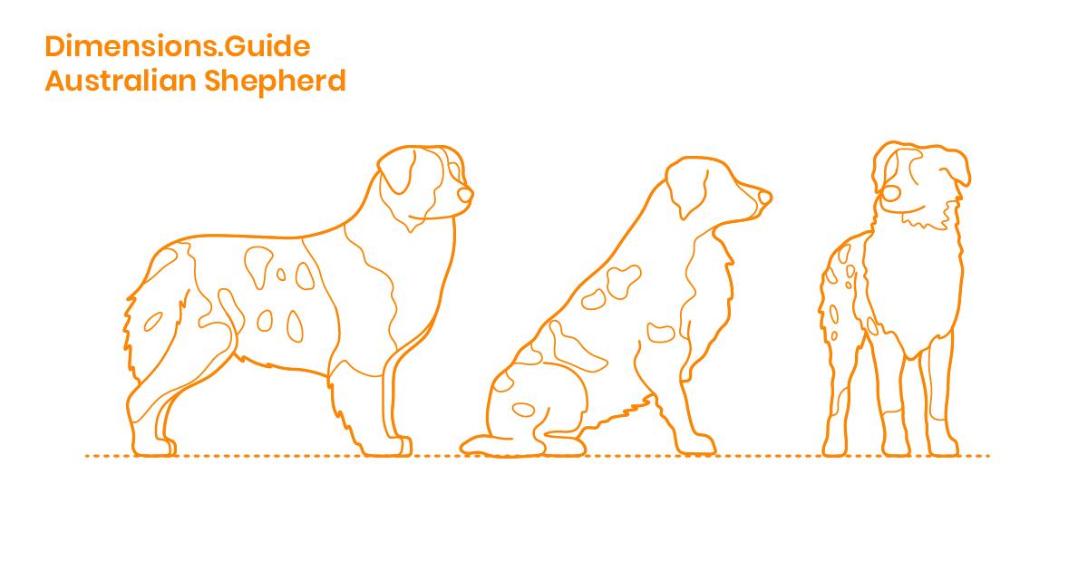 Australian Shepherd Dimensions