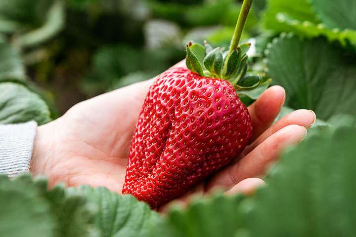 The Biggest Strawberries We've Ever Seen!