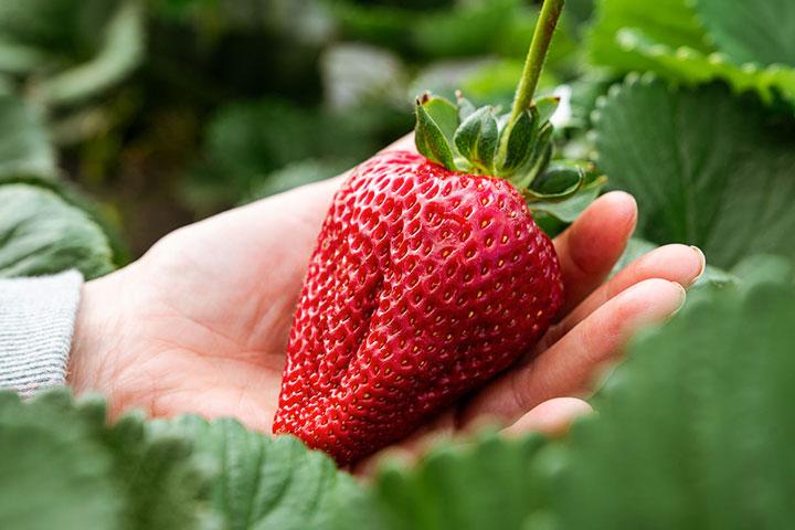 The Biggest Strawberries We've Ever Seen!