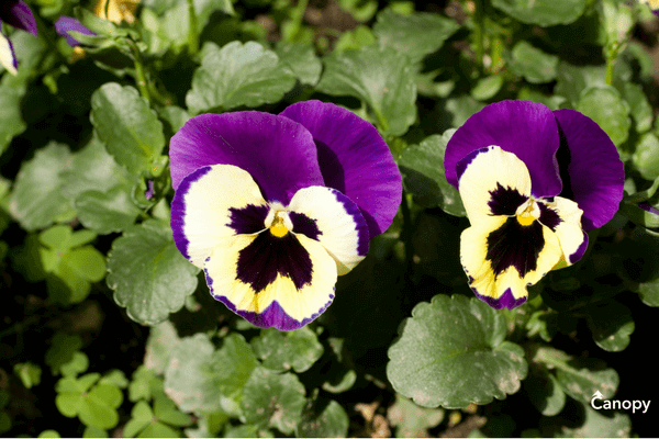 Planting pansies in North and South Carolina.
