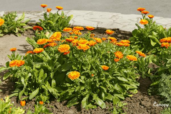 How to plant Calendula in North Carolina.