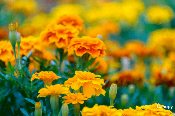 How and when to plant Marigolds in North Carolina.