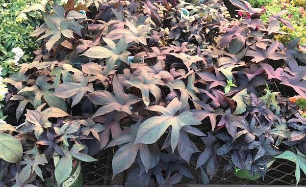 Sweet potato vine - fall flowers - canopy lawn care