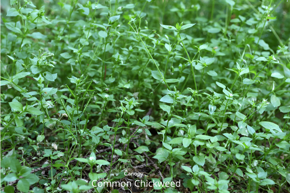 pre-emergent weed control protects against common Winter Annual Broadleaf Weeds Canopy Lawn Care Raleigh, NC