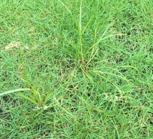 Common Lawn Weeds: Nutsedge Canopy Lawn Care Raleigh NC