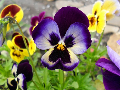 Pansy Mix - Fall Flowers